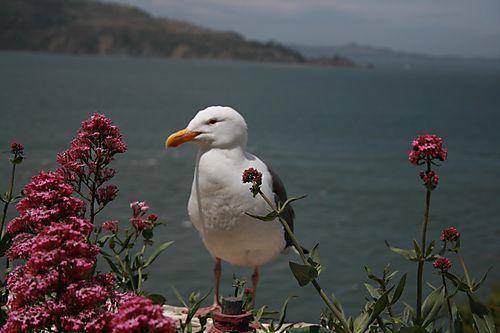 Alcatraz Seagul
