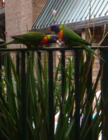Sugar parrots