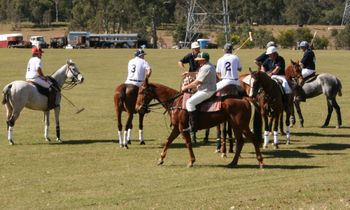 Polo ponies1