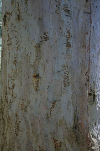 Scribbly gum1