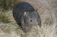 Mr_wombat_2